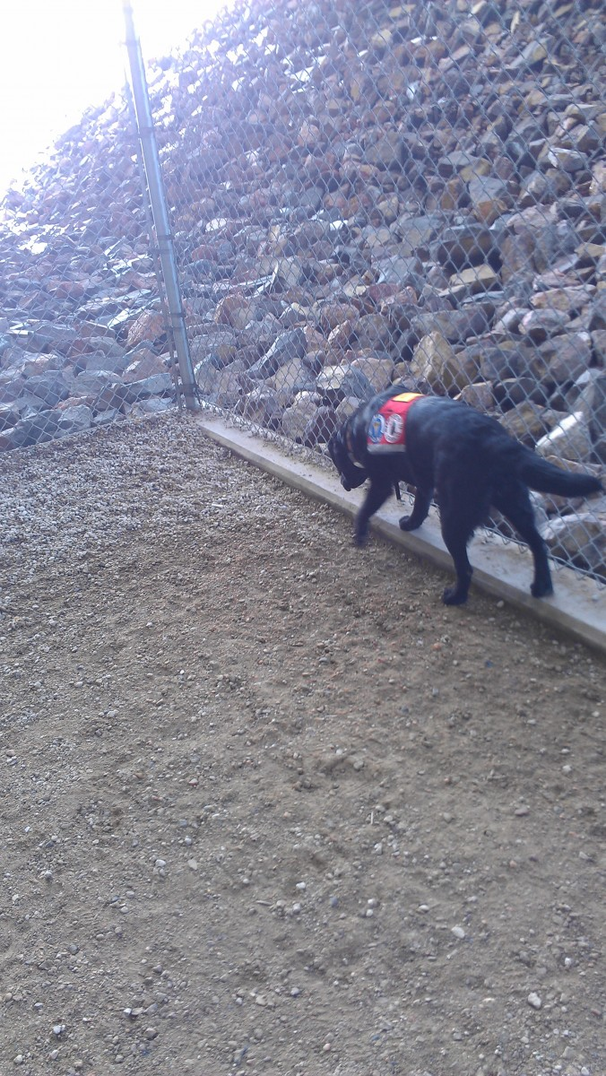 Tori at the pet relief area of Denver airport. She didn't care for the concrete edge or the choice of soil.